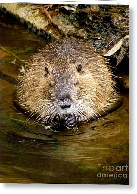 Busy As A Beaver Greeting Card by Lainie Wrightson