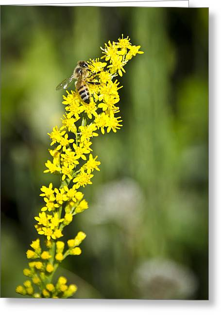 Busy Bee On Yellow Wildflower Greeting Card by Carolyn Marshall