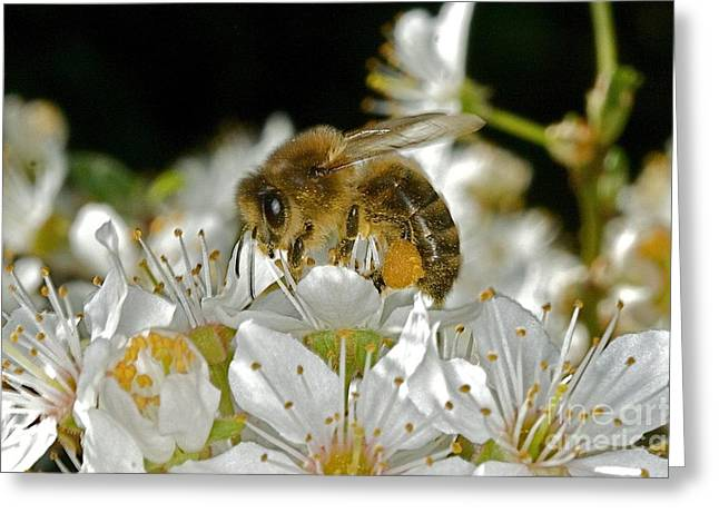 Busy Busy Bee Greeting Card by Gary Bridger