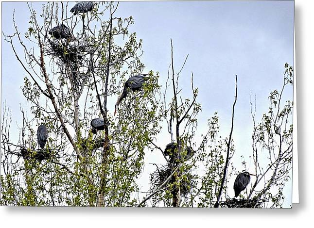 Busy Heron Rookery Greeting Card