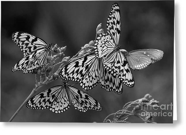 Butter Flies  Greeting Card by Gary Bridger