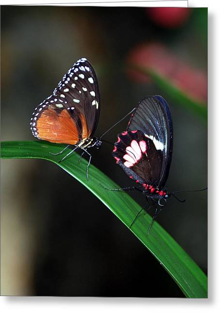 Butterflies Greeting Card by Skip Willits