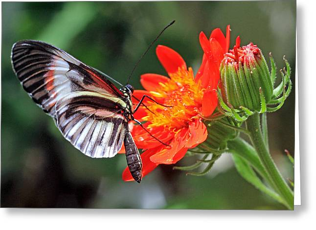 Greeting Card featuring the photograph Butterfly - Orange by Larry Nieland
