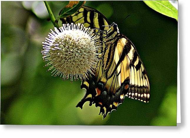 Butterfly 3 Greeting Card by Joe Faherty