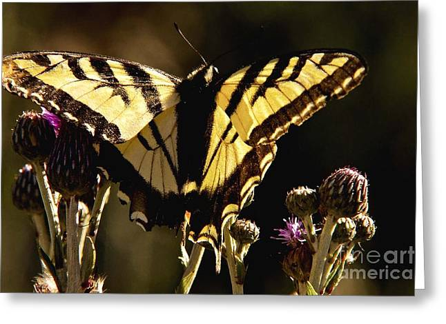Greeting Card featuring the photograph Butterfly And Thistle II by Angelique Olin