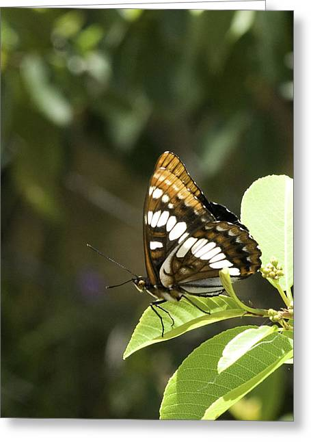Greeting Card featuring the photograph Butterfly At Rest by Betty Depee