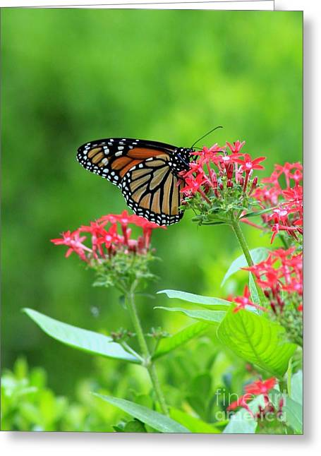 Greeting Card featuring the photograph Butterfly Beauty by Laurinda Bowling