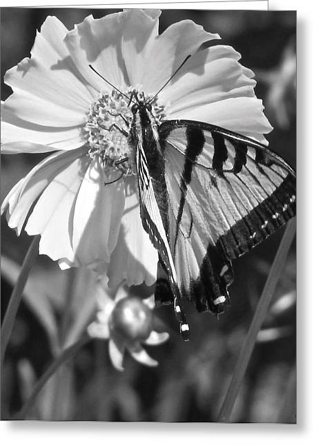 Butterfly Collection Black White Greeting Card by Debra     Vatalaro