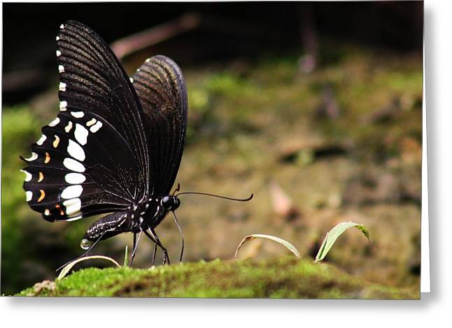 Butterfly Feeding  Greeting Card by Ramabhadran Thirupattur