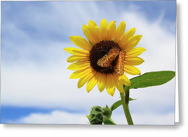Butterfly On A Sunflower Greeting Card by Shane Bechler