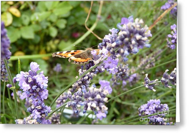 Butterfly On Lavendula Greeting Card