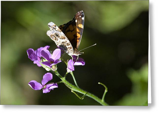 Greeting Card featuring the photograph Butterfly On Phlox Bloom by Sarah McKoy