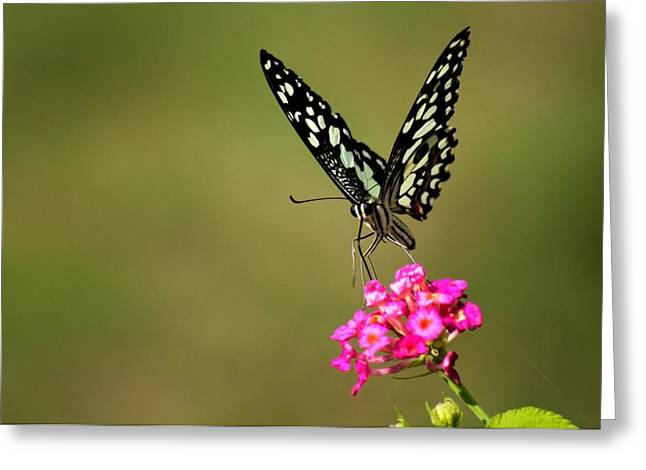Butterfly On Pink Flower  Greeting Card by Ramabhadran Thirupattur