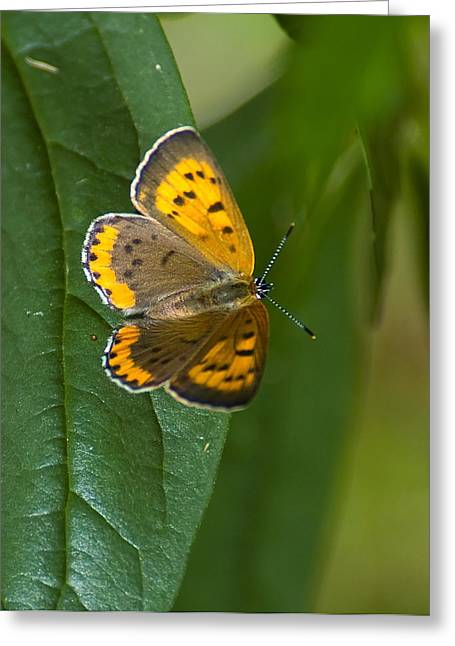 Greeting Card featuring the photograph Butterfly Pose by Sarah McKoy