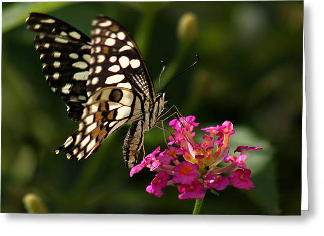 Butterfly Greeting Card by Ramabhadran Thirupattur