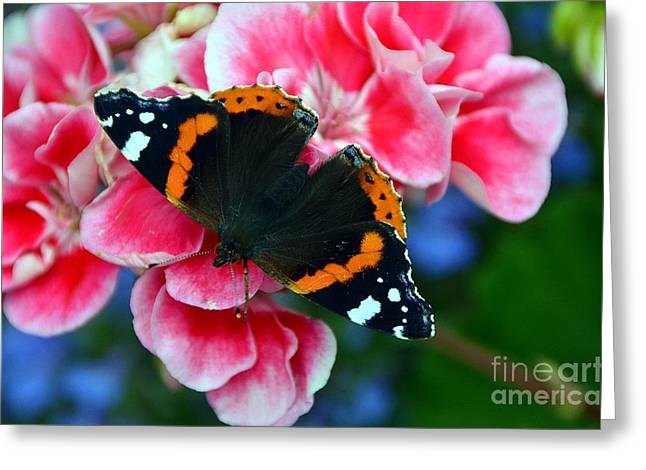 Butterfly Red Admiral Greeting Card