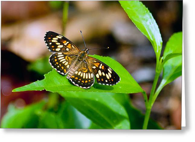 Greeting Card featuring the photograph Butterfly by Susi Stroud