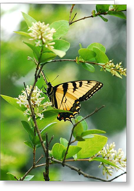 Greeting Card featuring the photograph Butterfly Tiger Swallow by Peggy Franz
