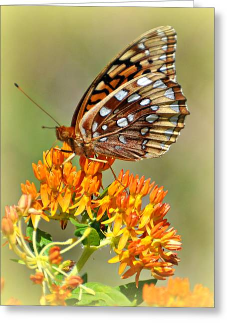 Butterfly Weed 1 Greeting Card by Marty Koch