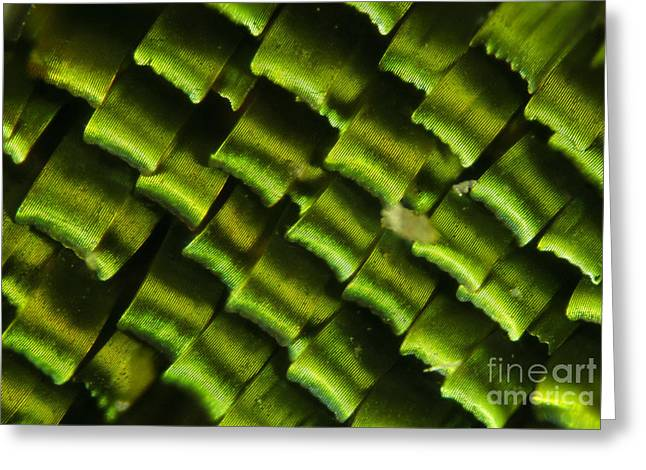 Butterfly Wing Scales Greeting Card by Raul Gonzalez Perez