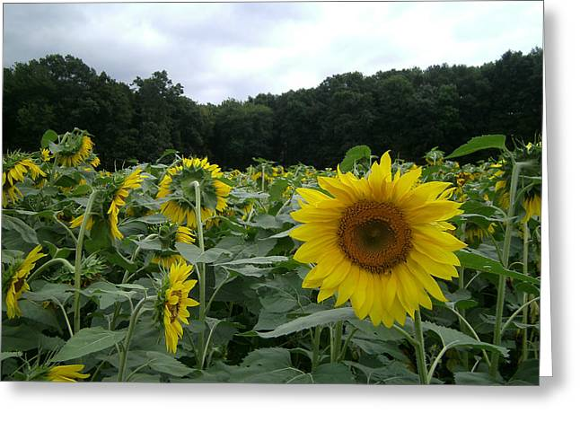 Buttonwoods Sunflowers Greeting Card by Jason Sawicki