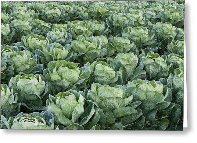 Cabbage Field Santa Cruz California Greeting Card by Sebastian Kennerknecht