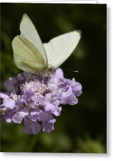 Cabbage White Butterfly  Greeting Card by Saija  Lehtonen