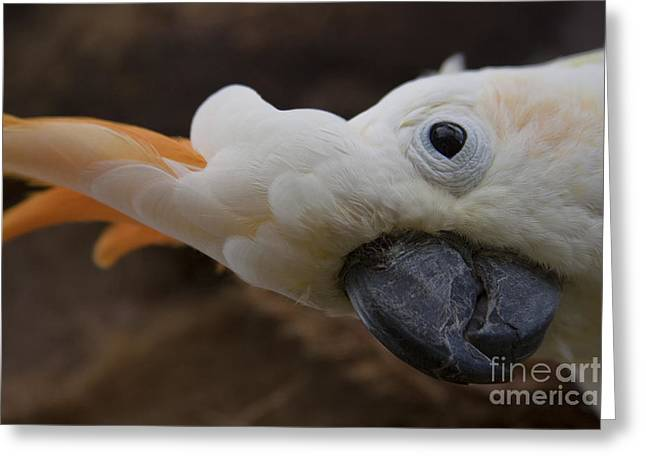Cacatua Sulphurea Citrinocristata - Citron Crested Cockatoo Greeting Card by Sharon Mau