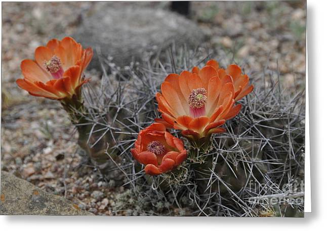 Greeting Card featuring the photograph Cactus Beauty by Cheryl McClure