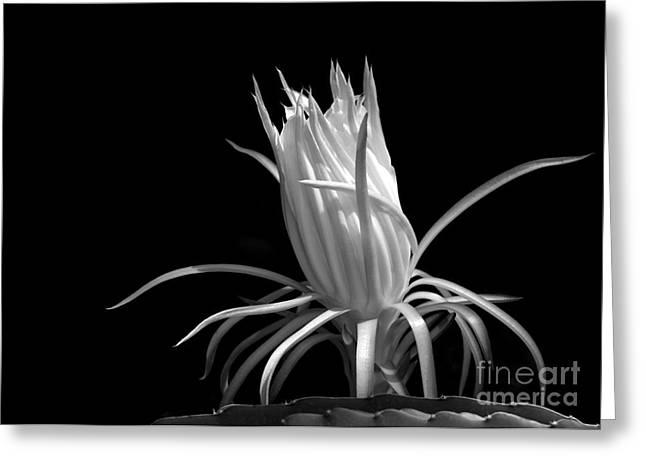 Cactus Flower Greeting Card by Sabrina L Ryan