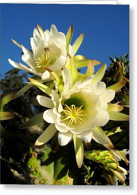 Greeting Card featuring the photograph Cactus Flowers by Sue Halstenberg