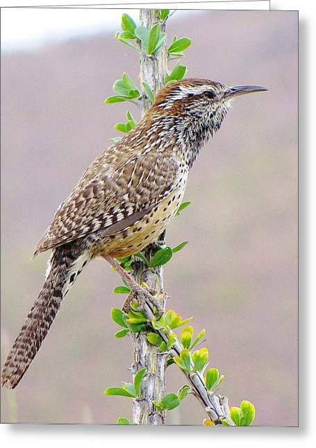 Cactus Wren Greeting Card by FeVa  Fotos