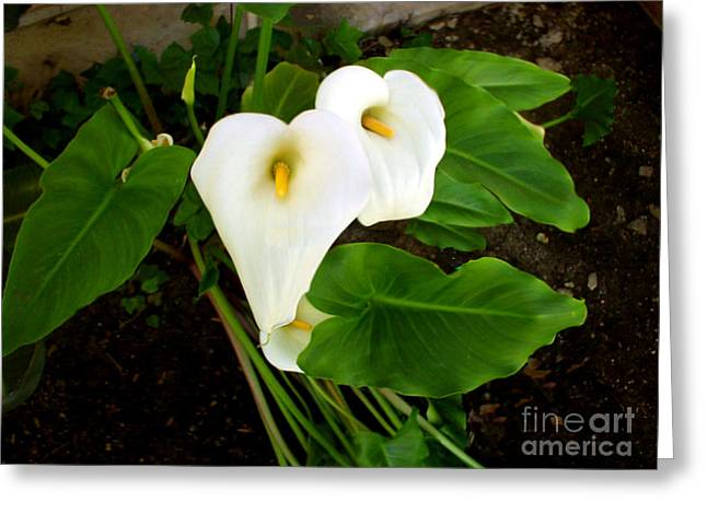 Cala Lily Greeting Card by The Kepharts
