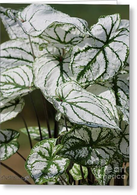 Caladium Named White Christmas Greeting Card by J McCombie