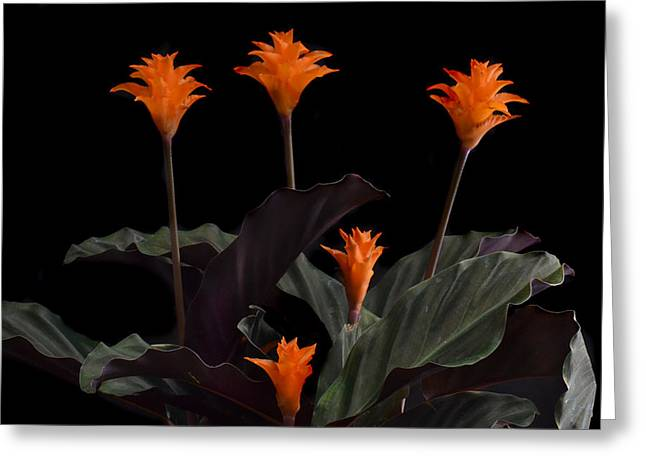 Calathea Crocate Greeting Card by Terence Davis