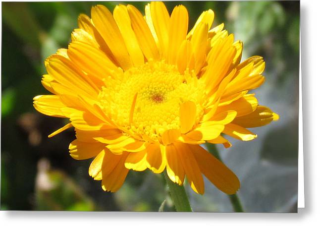 Calendula Blossom Greeting Card
