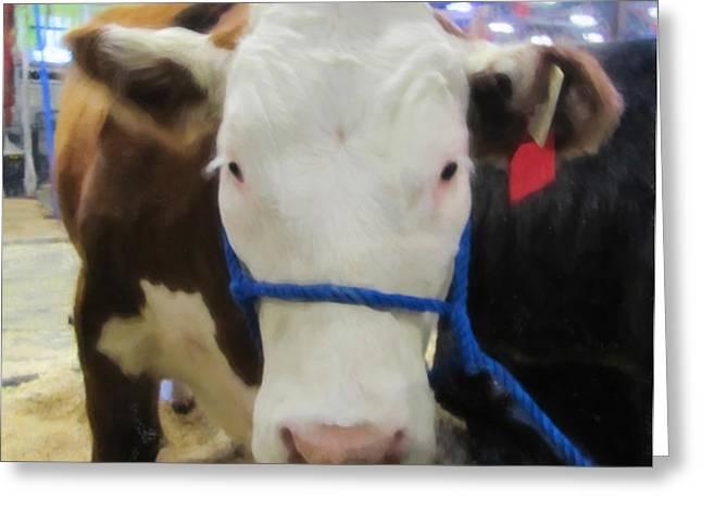 Calgary Stampede Cow Greeting Card