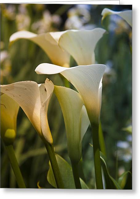 Cali Lily Greeting Card