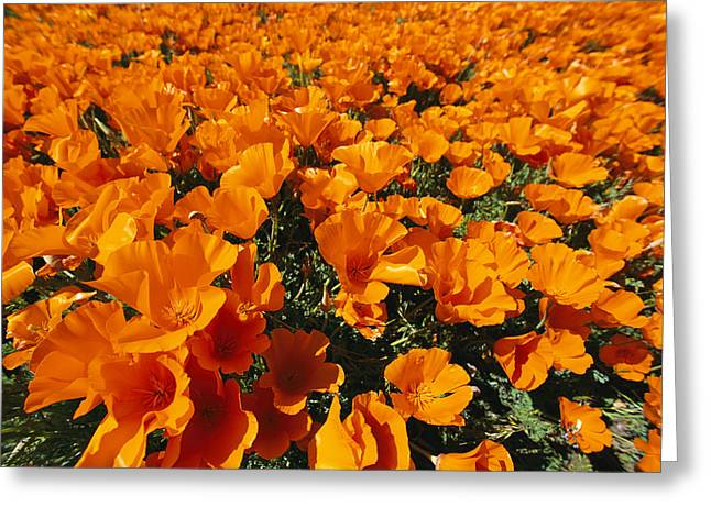California Poppies In Field Greeting Card by Jonathan Blair