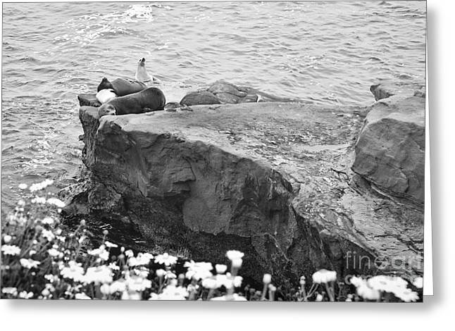 California Sea Lions Black And White La Jolla Shores San Diego  Greeting Card by Sherry  Curry