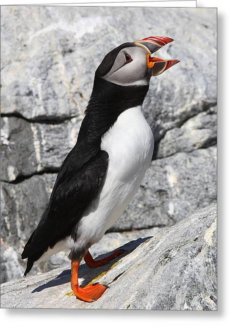 Call Of The Puffin Greeting Card by Bruce J Robinson