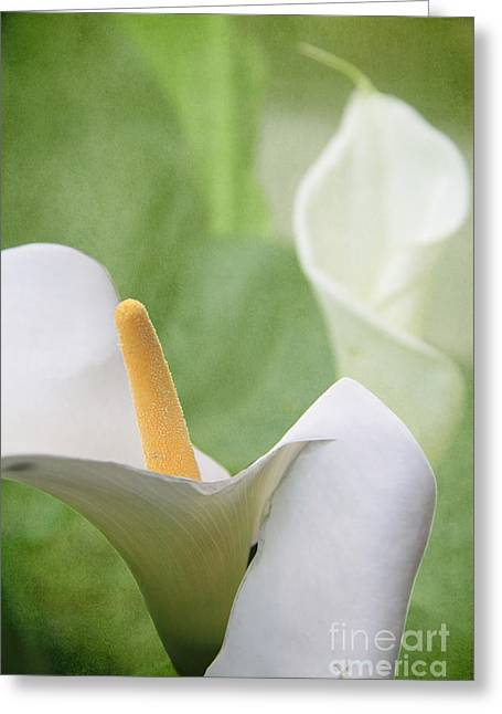Calla Lilies Greeting Card by Alyce Taylor