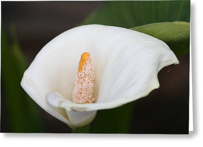 Calla-lily Greeting Card