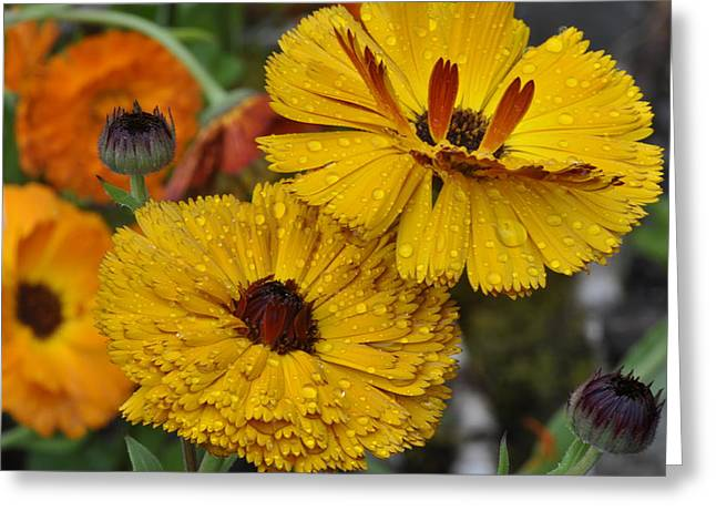 Greeting Card featuring the photograph Callendula by Rob Hemphill