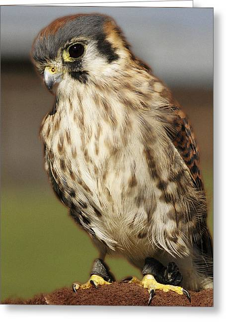 Callie American Kestrel Greeting Card by Barbara Middleton