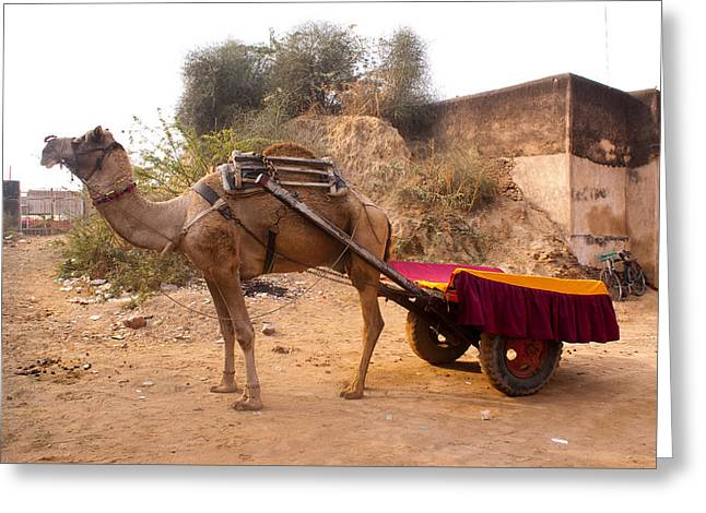 Camel Yoked To A Decorated Cart Meant For Carrying Passengers In India Greeting Card by Ashish Agarwal