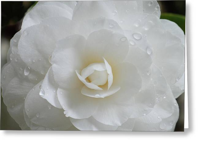 Camellia After Rain Storm Greeting Card