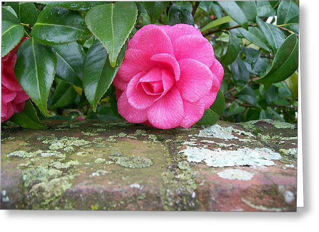 Camellia On Wall Greeting Card by Larry Bishop