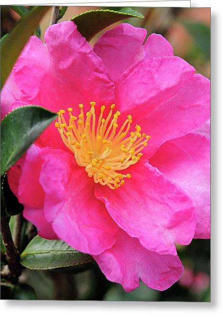Camillia Greeting Card