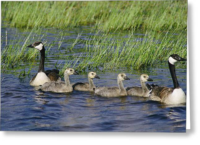 Canada Geese Branta Canadensis Greeting Card